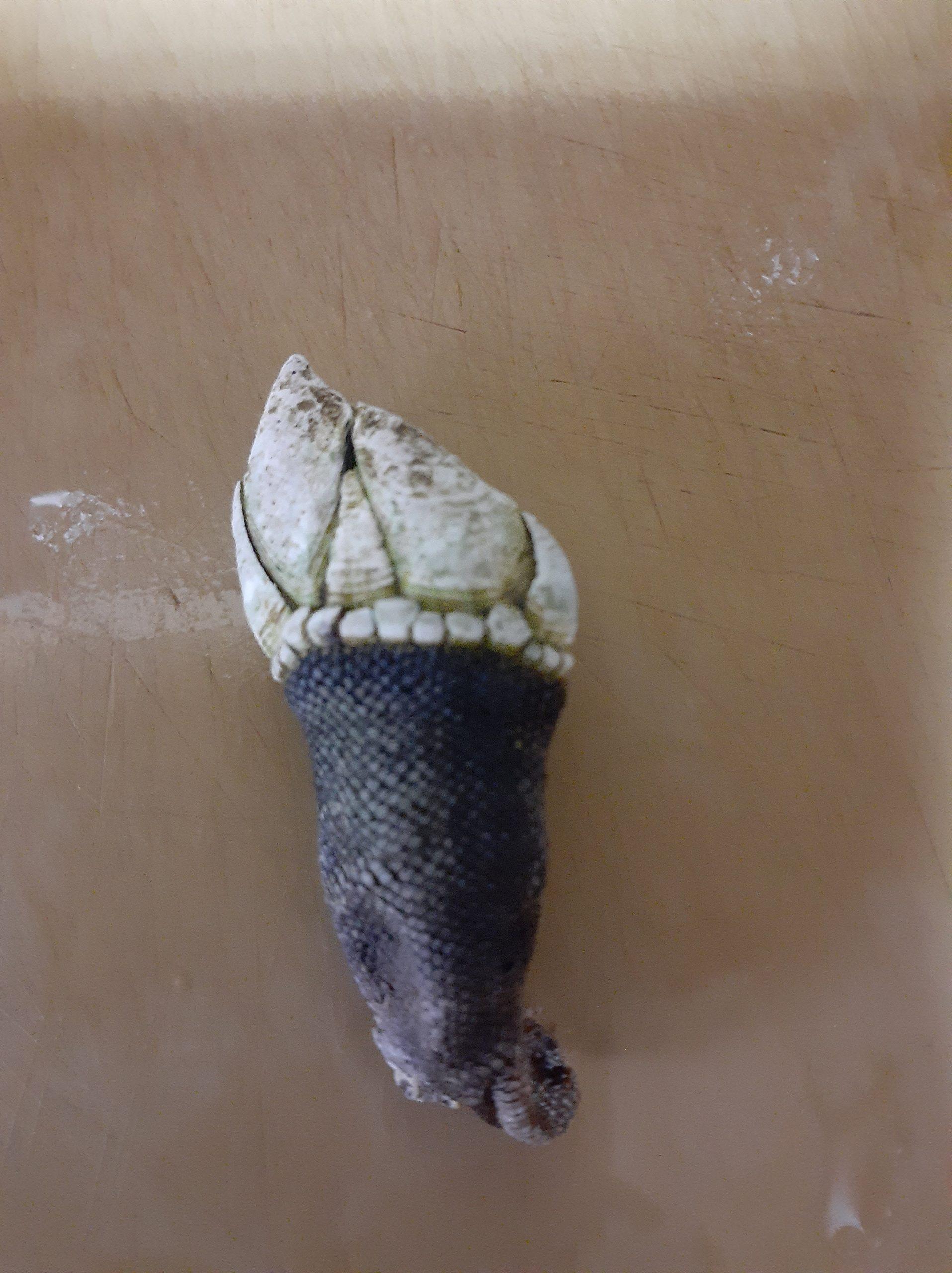 亀の手を食べてみました。