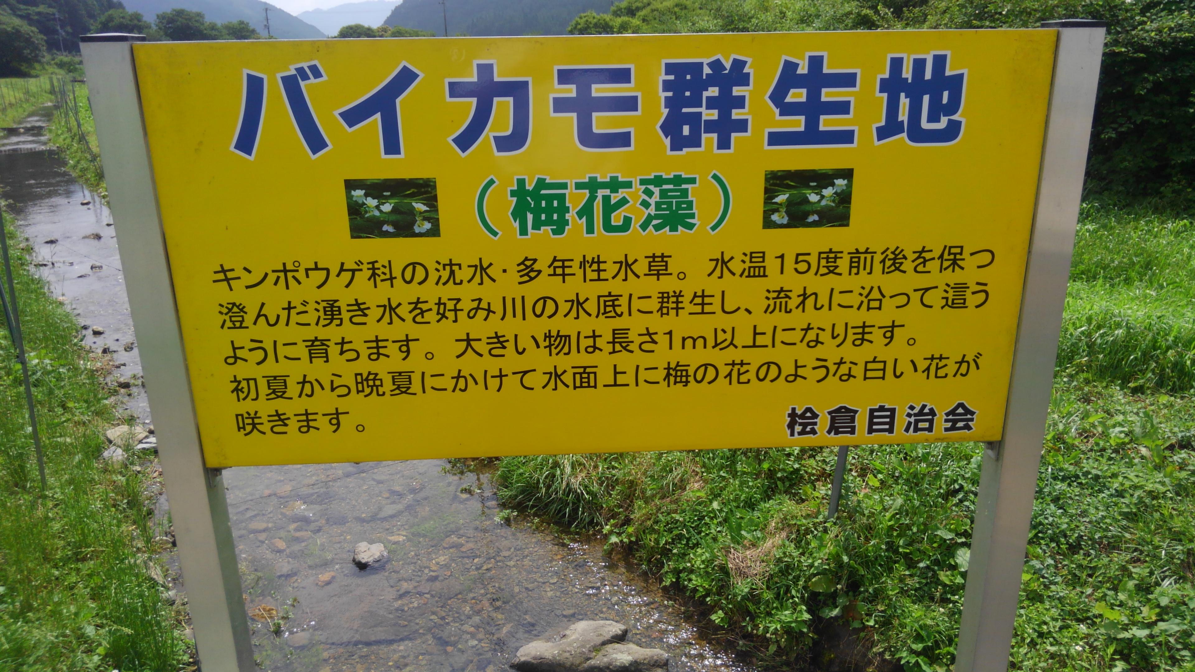 梅花藻を兵庫県でも見られました
